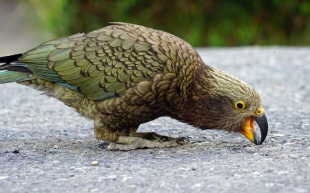 New Zealand kea photo credit Creative Commons